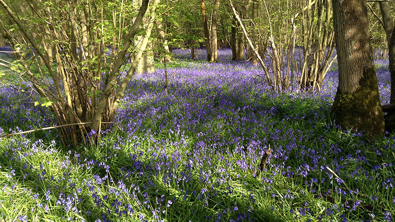 Bluebell woods biodiversity photo