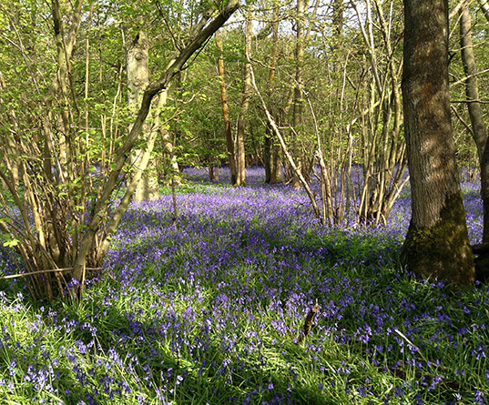 Bluebell wood hotspot image